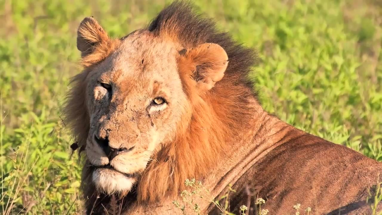 Over 100 lions found neglected at South African breeding facility