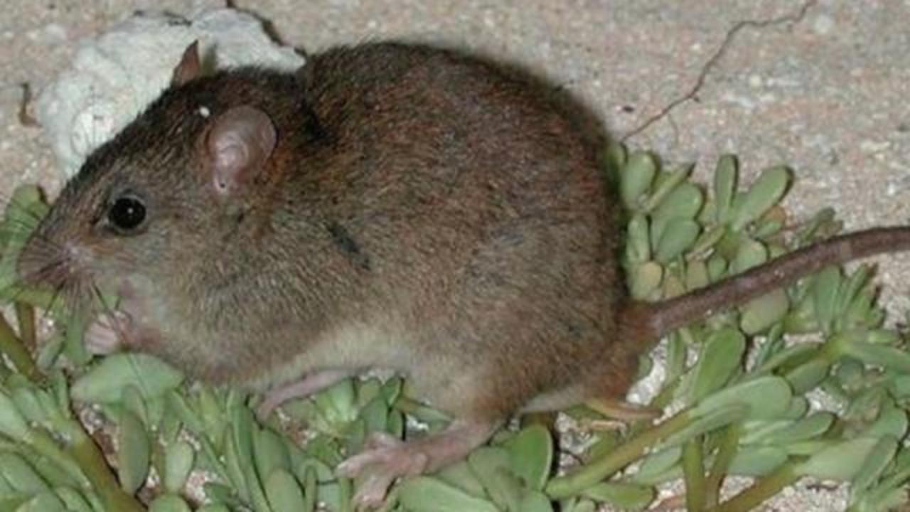 This Is Probably The First Mammal Extinct Because Of Man-Made Climate Change
