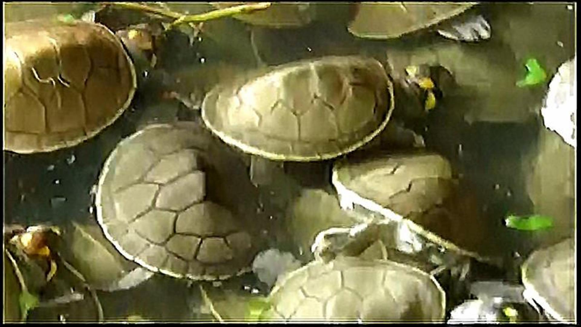 500,000 Baby Turtles Will Be Released To Help Save Vulnerable Species