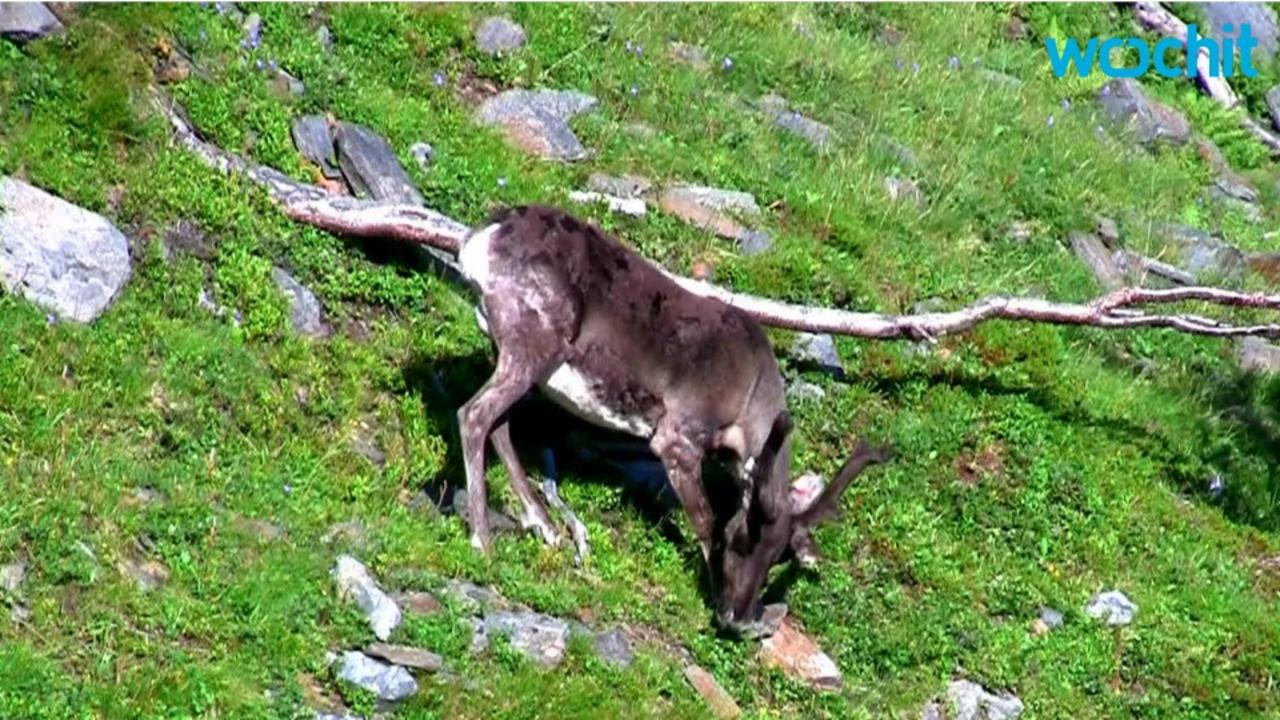 More Than 60,000 Reindeer Starved To Death After Global Warming Cut Off Food Supply