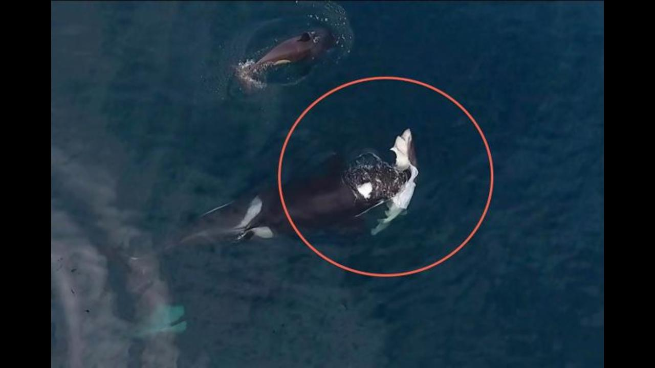 Mysterious Type Of Killer Whale Caught On Video Killing And Eating A Shark In Rare Drone Footage