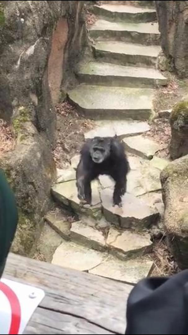 Chimp Hurls Feces At Zoo's Crowd, Nails Grandma Right In The Face
