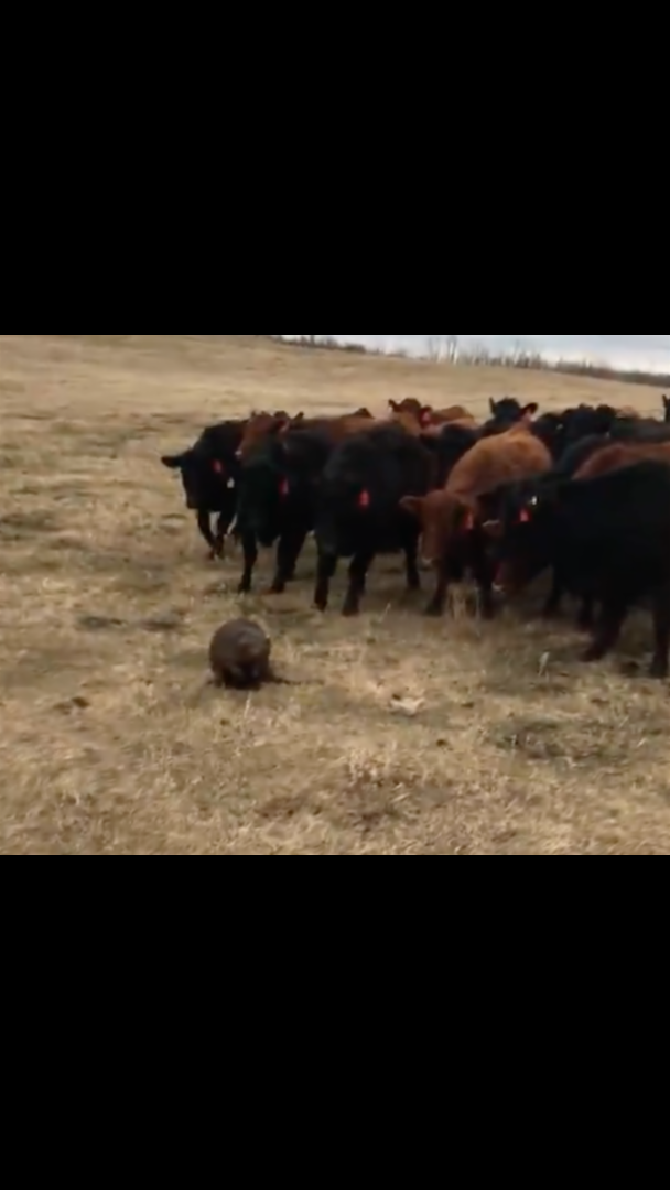 Bewildered Beaver Becomes Accidental Leader Of 150 Curious Cows