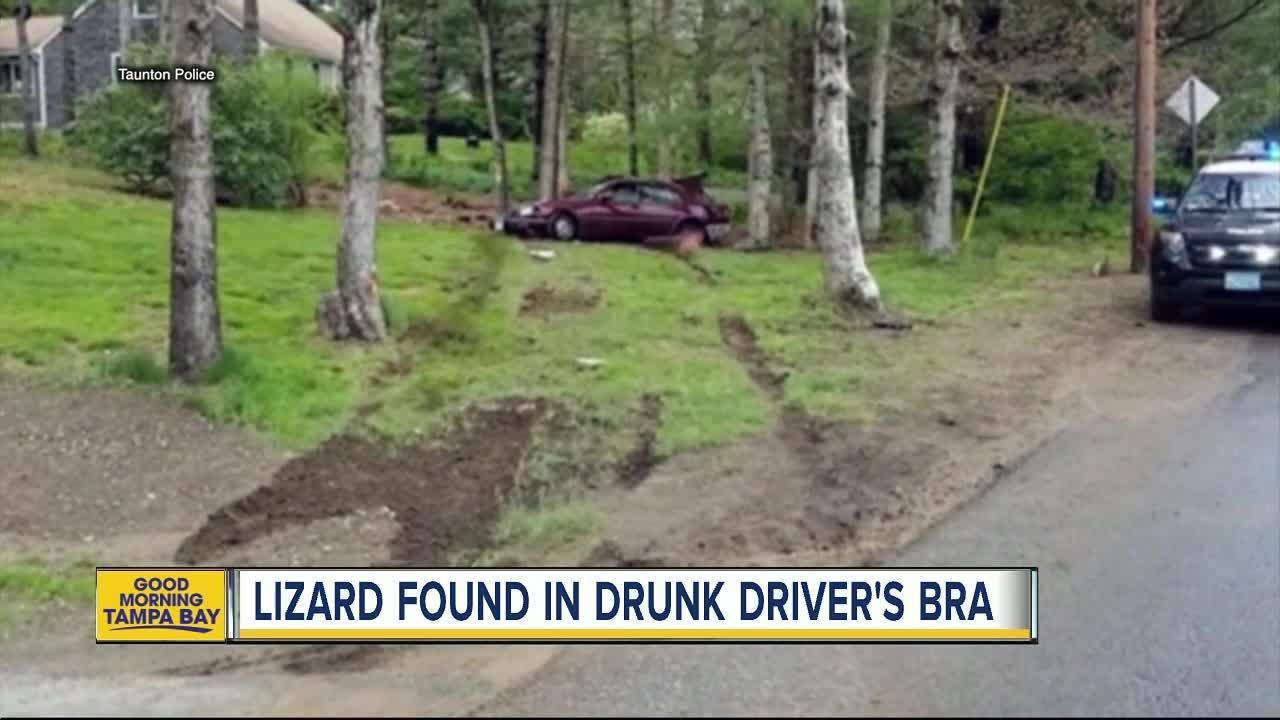 Alleged Drunk Driver Had Bearded Dragon Lizard In Her Bra, Police Say