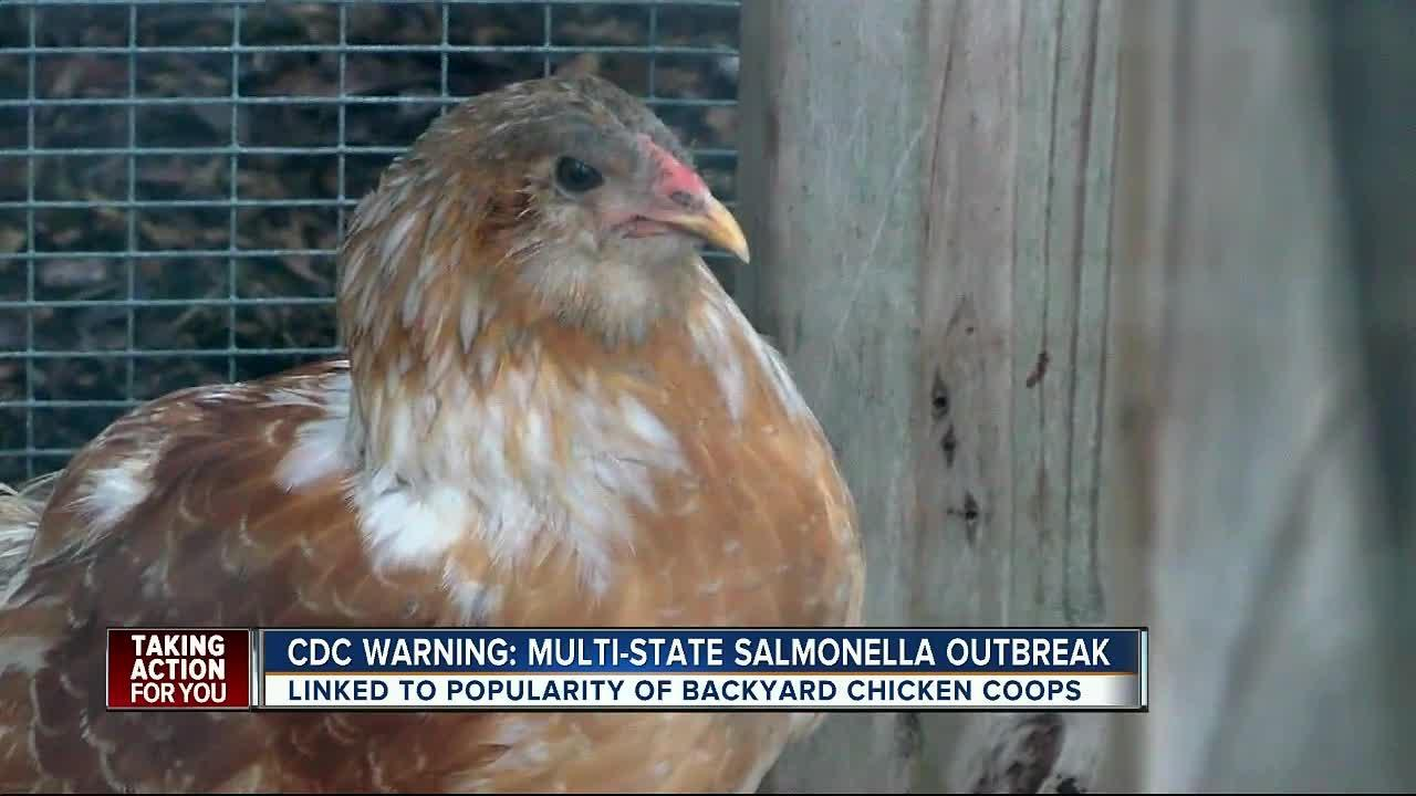 Salmonella Is On The Rise Because People Won't Stop Cuddling Their Chickens   HuffPost Life