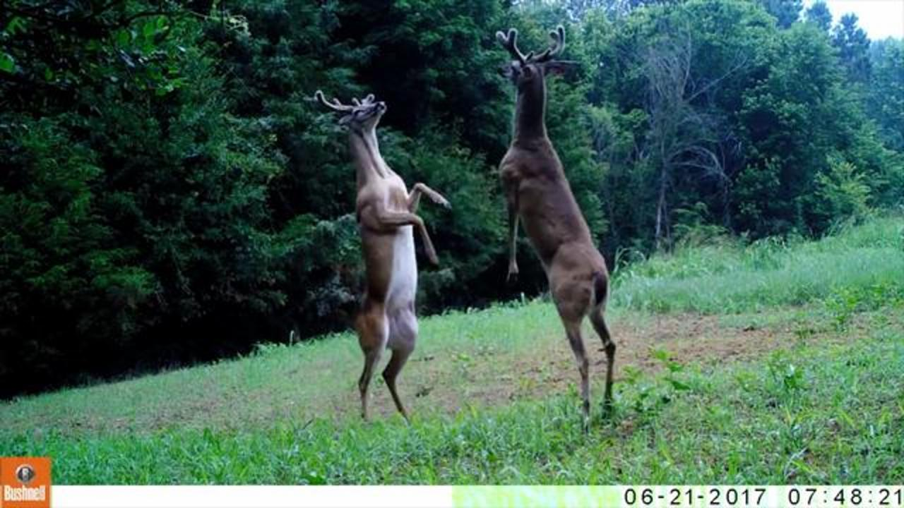 Deer Caught On Camera Engaging In Bizarre 'Slap Fight'