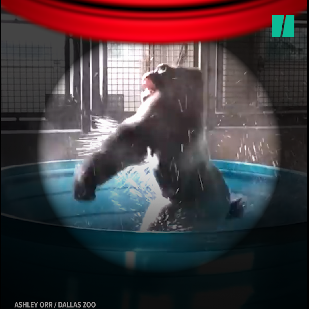 Gorilla Dances To 'Maniac' And Another 'Flashdance' Star Is Born