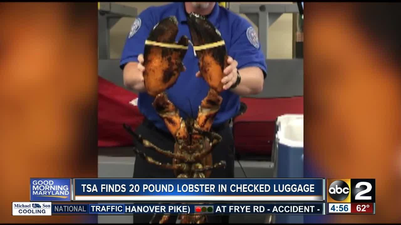 Huge Lobster Found In Checked Luggage At Airport | HuffPost Life