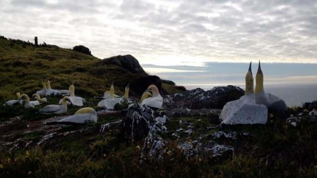 Nigel, The Lonely Seabird, Dies Next To The Concrete Bird Replica He Loved For 5 Years