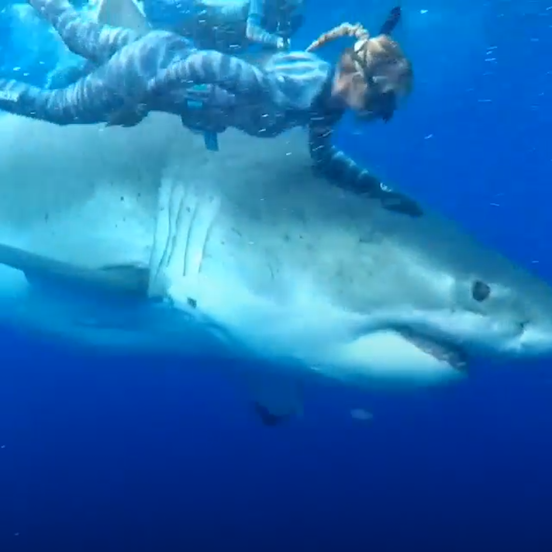 Divers have unbelievably close encounter with monstrous white shark