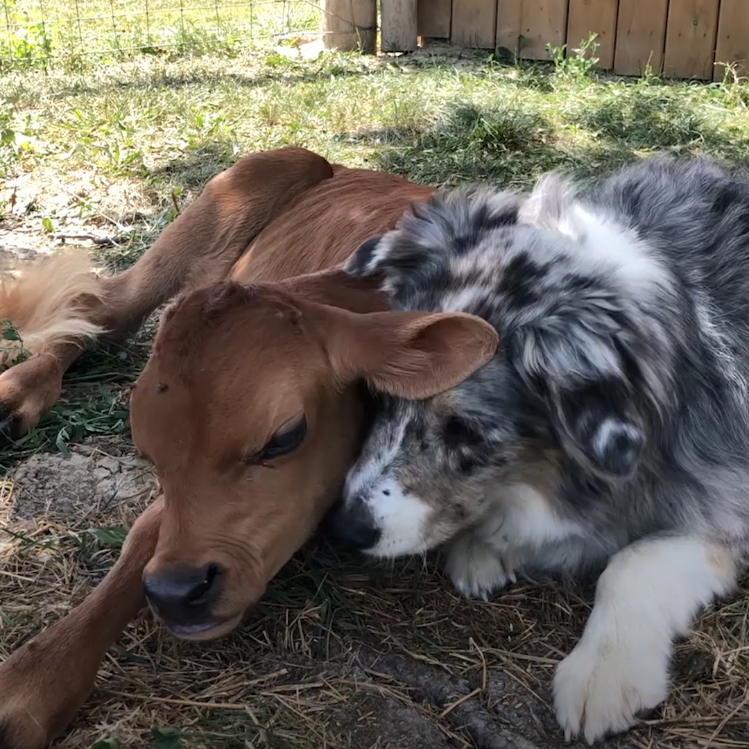 Rescued calf and Australian shepherd form adorable friendship
