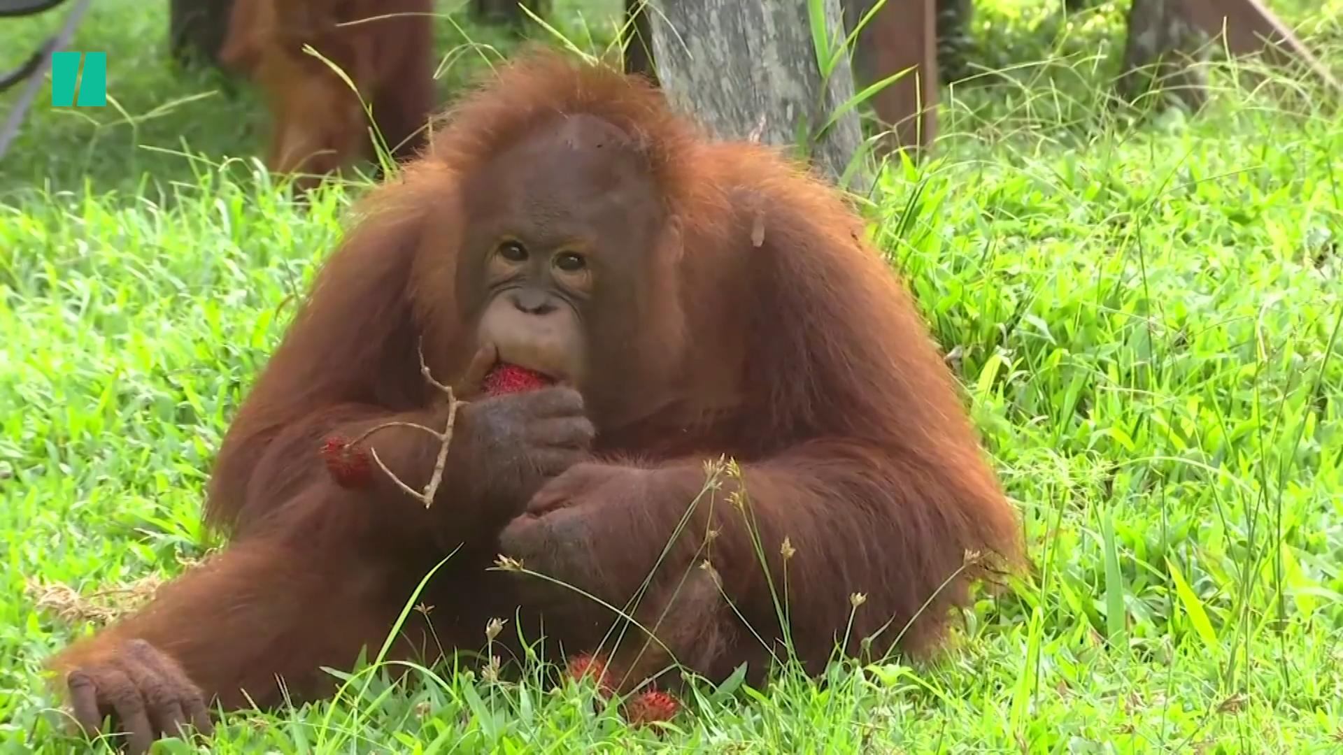 Researchers Use Drones And Thermal Imaging To Count Orangutan Populations