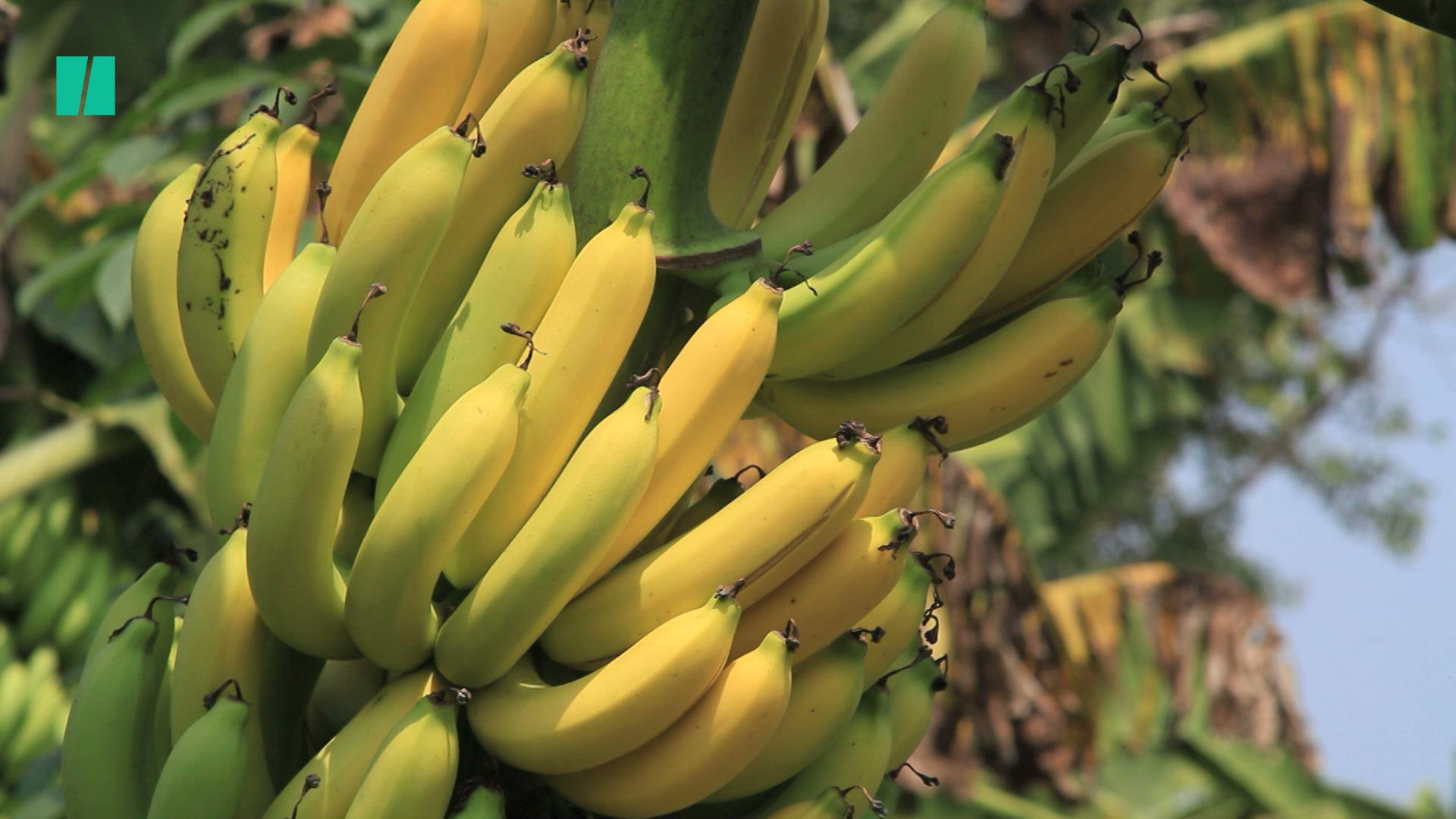 Bananas Are Facing Extinction – And It's All Our Fault