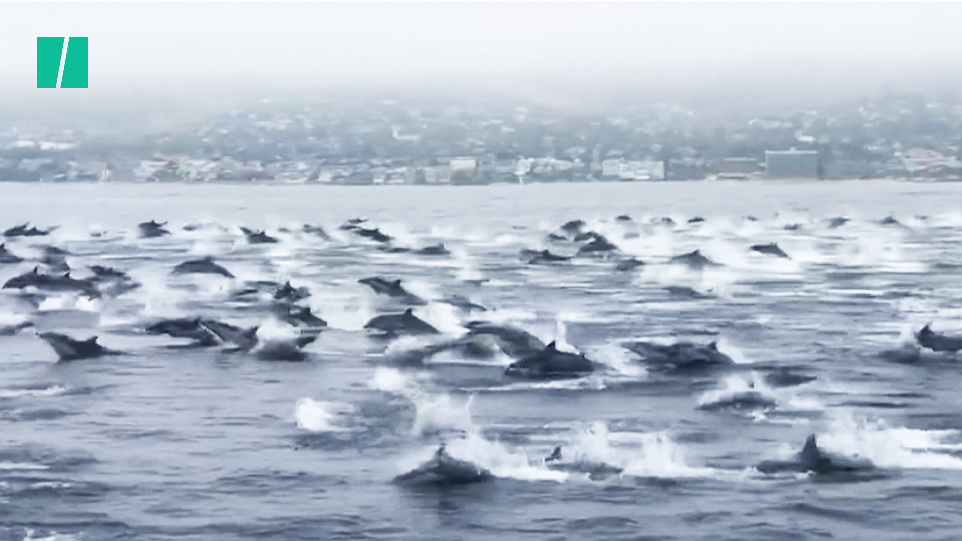 Giant Pod Of Dolphins Race Up The California Coast