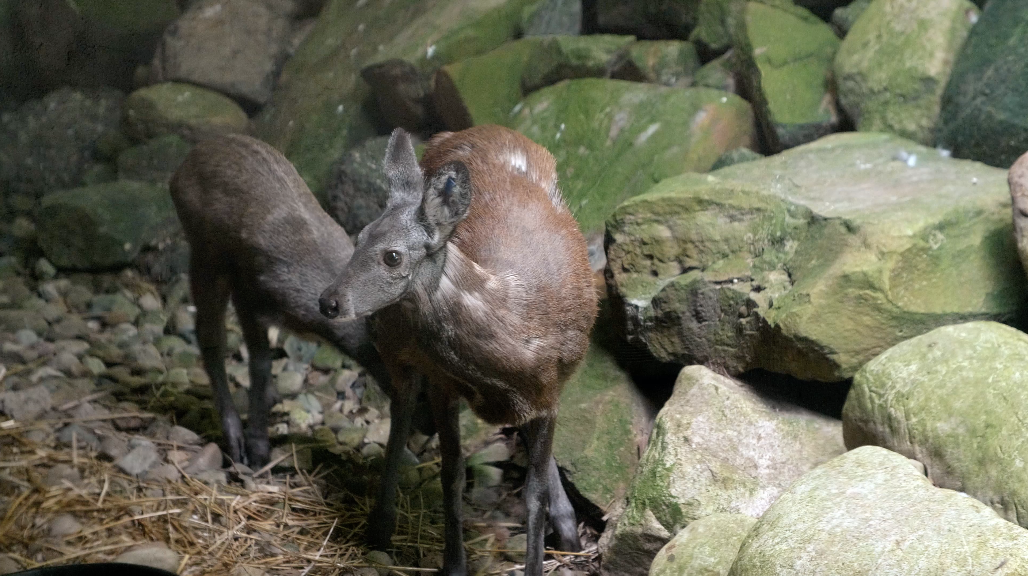 Zoo Babies: Meet this rare musk fawn who lives at the Akron Zoo